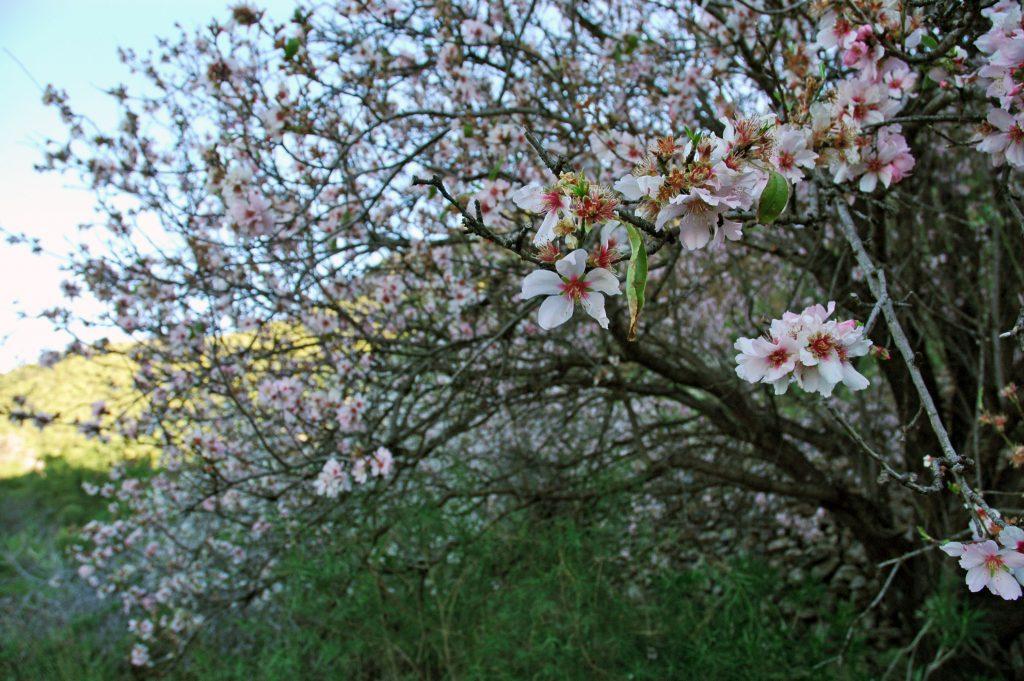 almendros en flor en un sendero de Tenerife